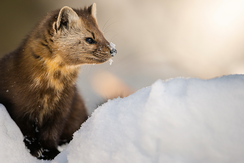 Animal in Snow