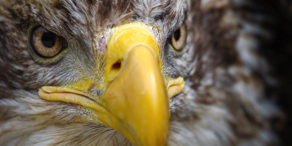 Immature Female Bald Eagle