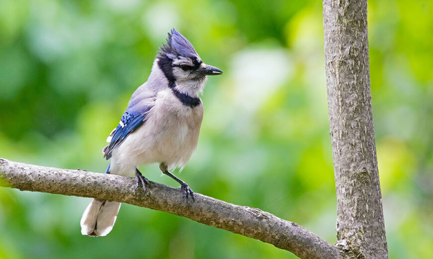 Bluejay on a tree branch