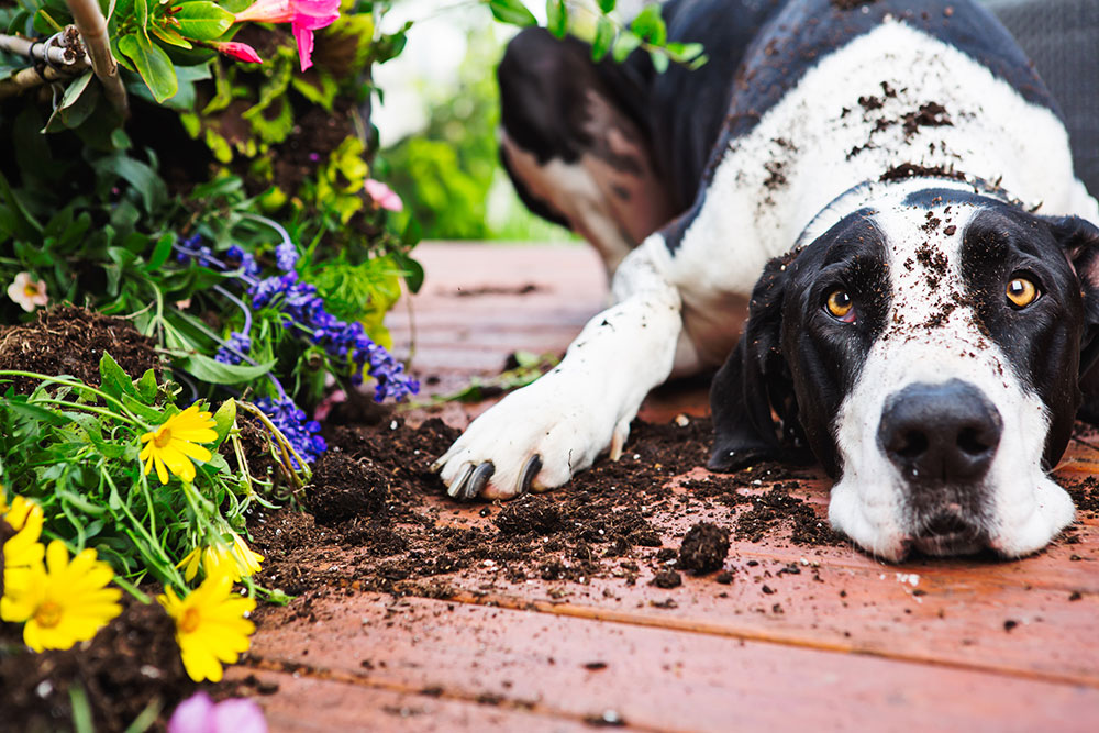 Dog wth soil on his head sitting near flowers