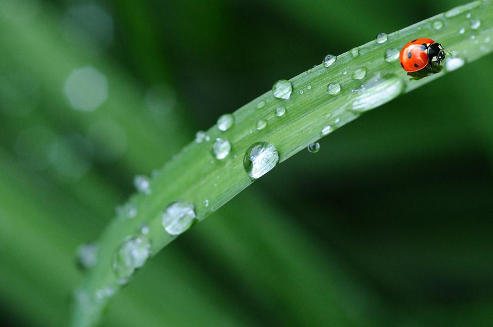 Ladybug-on-grass