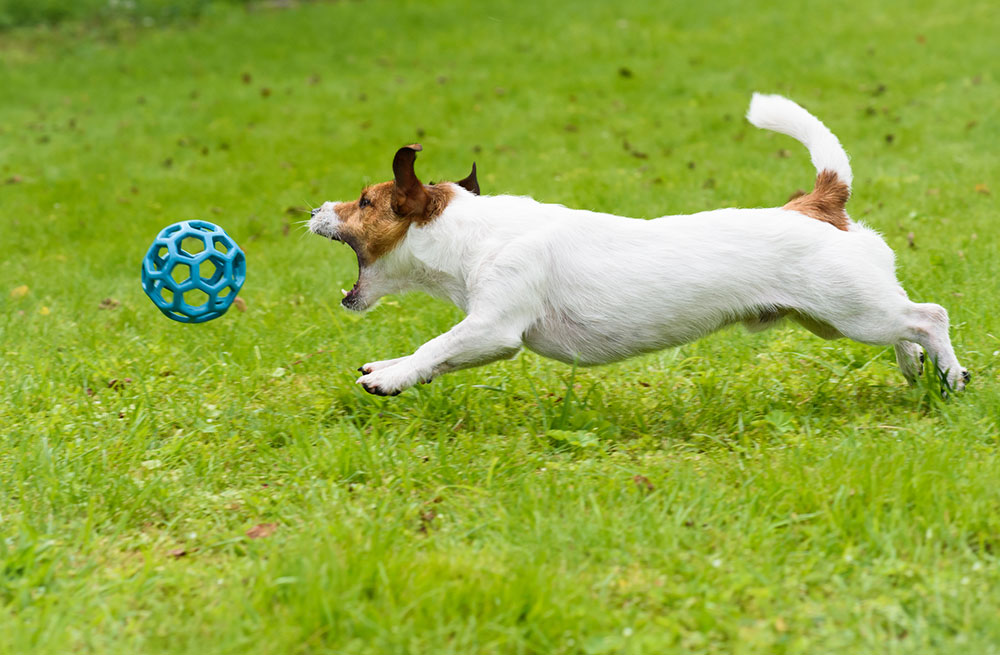 Panning camera as dog chases the ball