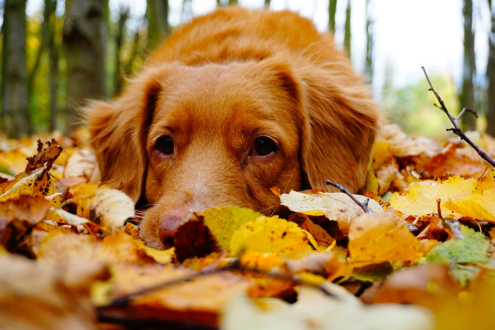 Dog laying on leaves