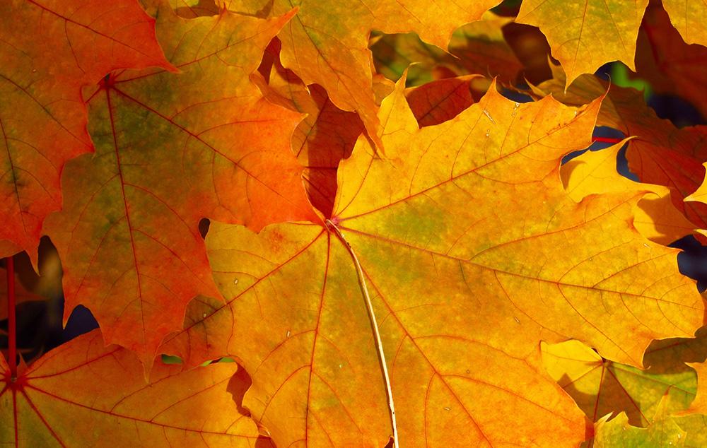Fall colours, orange leaves