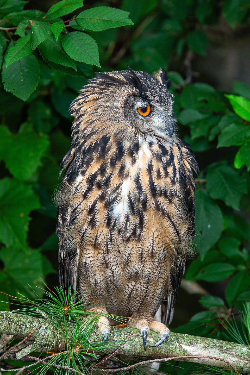 Siberian Eagle Owl - Fill Flash Added
