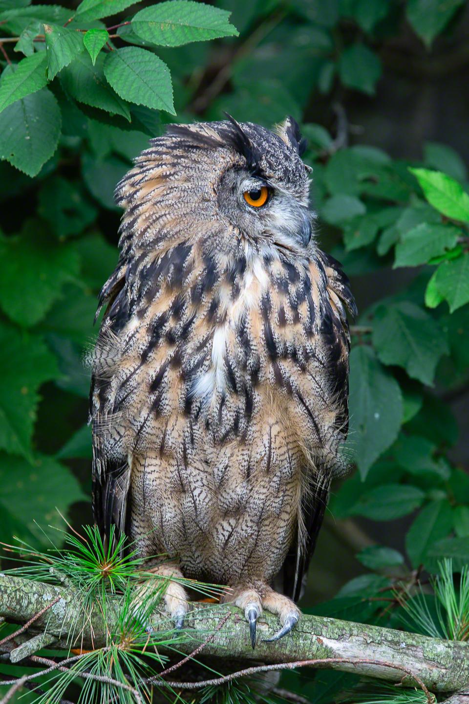 Siberian Eagle Owl - Fill Flash None