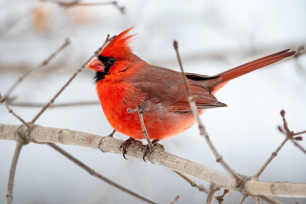 Cardinal on tree brand