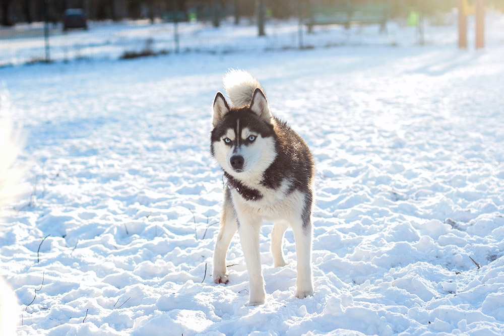 Husky outside in the snow