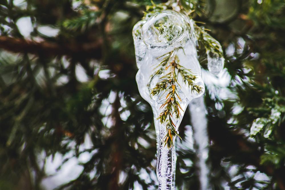 Ice frozen on Pine Tree