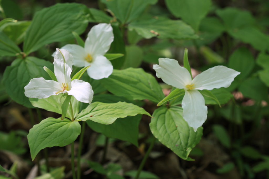 Three White Trilliums