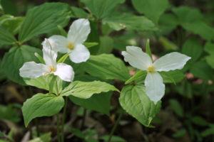Three White Trilliums