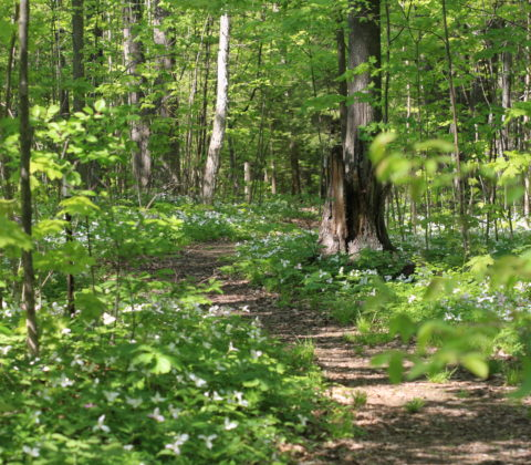 A Path Through a Forest Blanketed With Trilliums