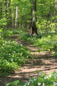 A path through a trillium-filled forest.