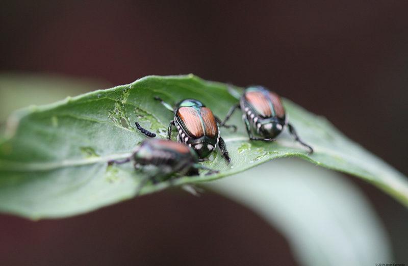 Invasive-Beetles-on-a-Leaf