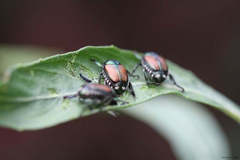 Invasive beetles on a leaf