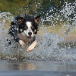 Border Collie running through water demonstrates a use for auto-focus while photographing a moving subject