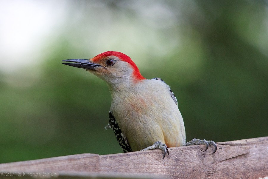 Rhonda Shier - Red-Bellied Woodpecker