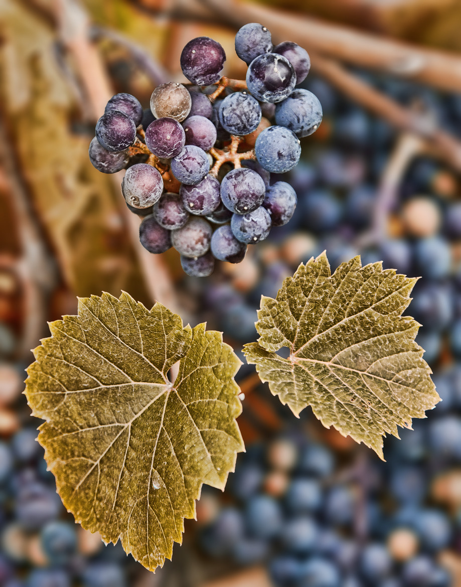 Grapes & Leaves by Paul Heyman