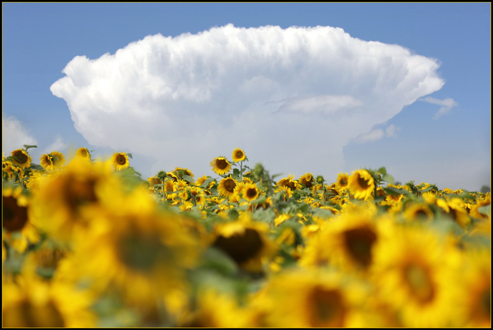 Sunflower Cloud by Brian Eastop