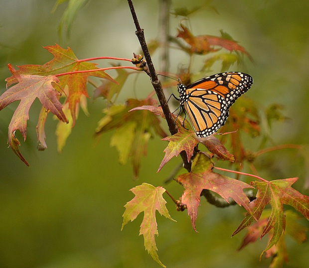 Monarch on a Colourful Leaf by Judy Tomlinson