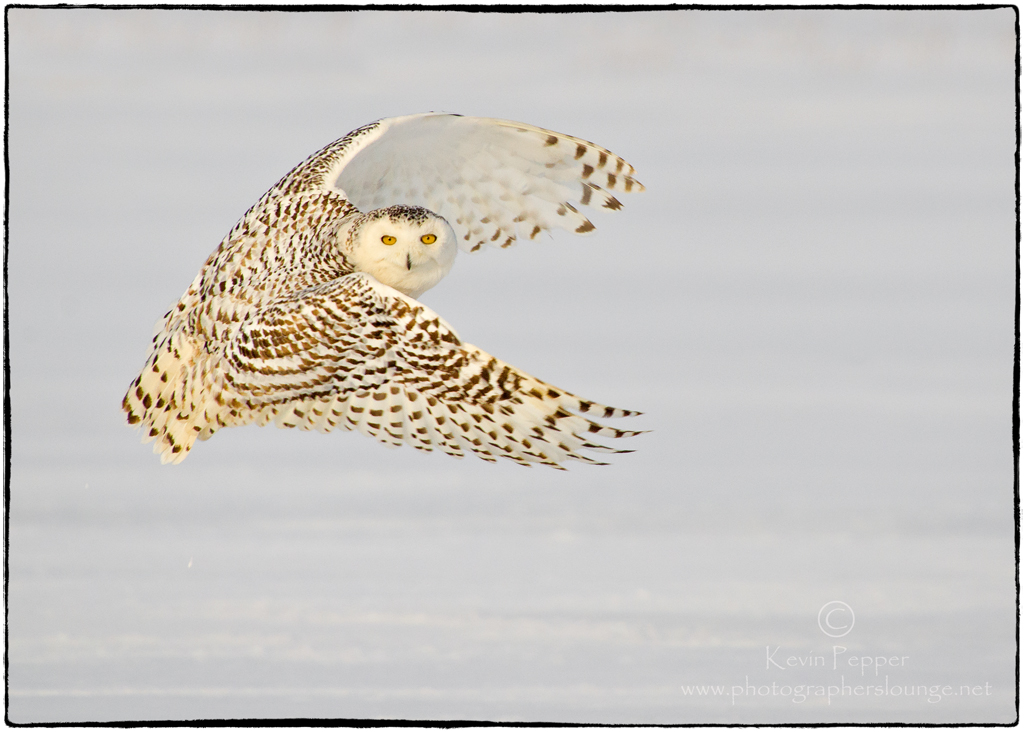 Ask the Expert - Moving Subject Techniques - snowy owl 2013