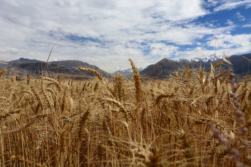 Wheat Field in Peru on the Way from Maras to Moray